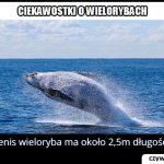 Jakiej   wielkości jest penis wieloryba?