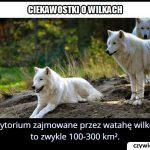 Jakiej wielkości terytorium zajmuje wataha wilków?