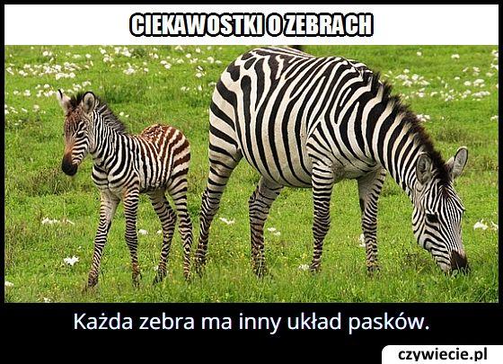 Wszystkie zebry mają taki sam układ pasków?