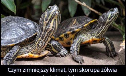Od czego zależy kolor skorupy żółwia?