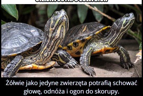 Tylko żółwie potrafią schować głowę, odnóża i ogon do skorupy?