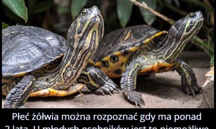 W jakim wieku   można rozpoznać płeć żółwia?