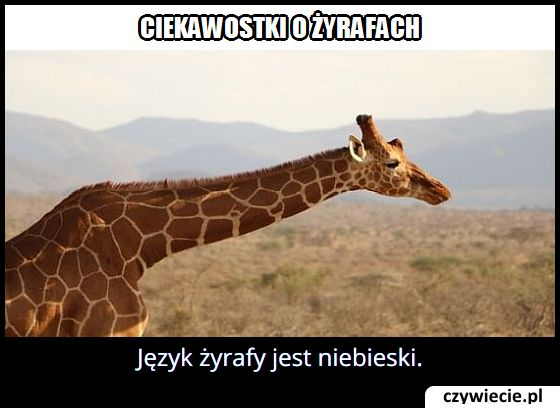 Jaki kolor ma język żyrafy?