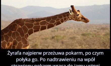 Ile razy   żyrafa przeżuwa pokarm?