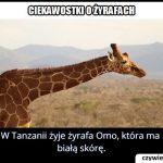W którym kraju   występuje żyrafa Omo mająca białą skórę?